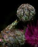 Фото11Где-то на этом глобусе и наша поляна (Муха из семейства Tephritida. Пестрокрылка)